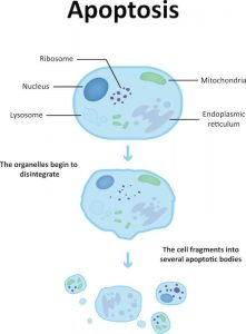 apoptosis diagram | Constellation Nutrition